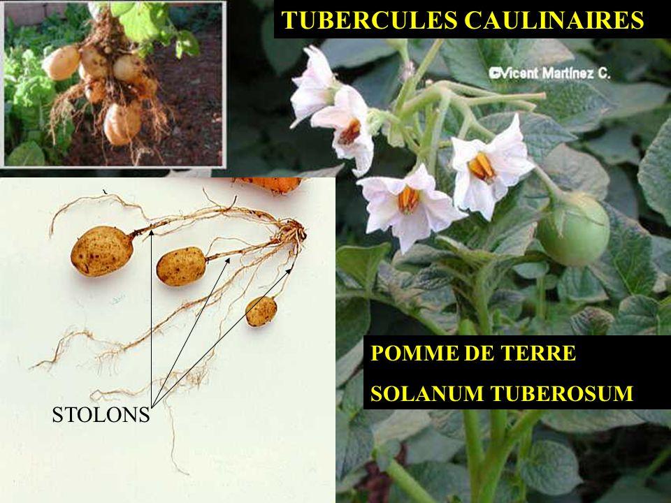 TUBERCULES CAULINAIRES STOLONS POMME DE TERRE SOLANUM TUBEROSUM