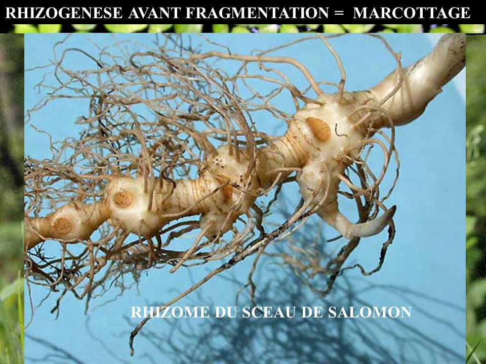 RHIZOME DU SCEAU DE SALOMON RHIZOGENESE AVANT FRAGMENTATION ==MARCOTTAGE