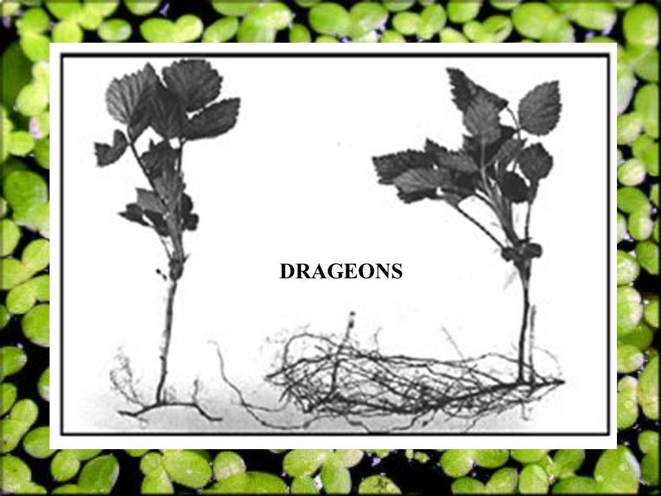 DRAGEONS