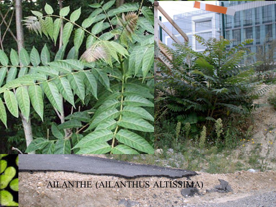 AILANTHE (AILANTHUS ALTISSIMA)