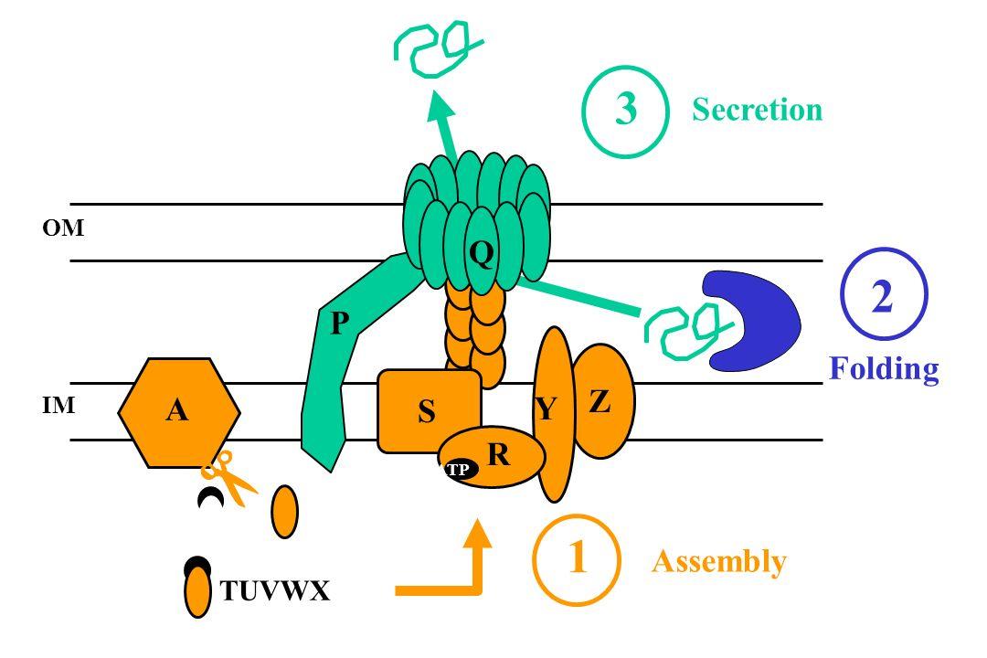 OM IM R Y Z S A TUVWX P Q 1 3 Assembly Secretion ATP Folding 2