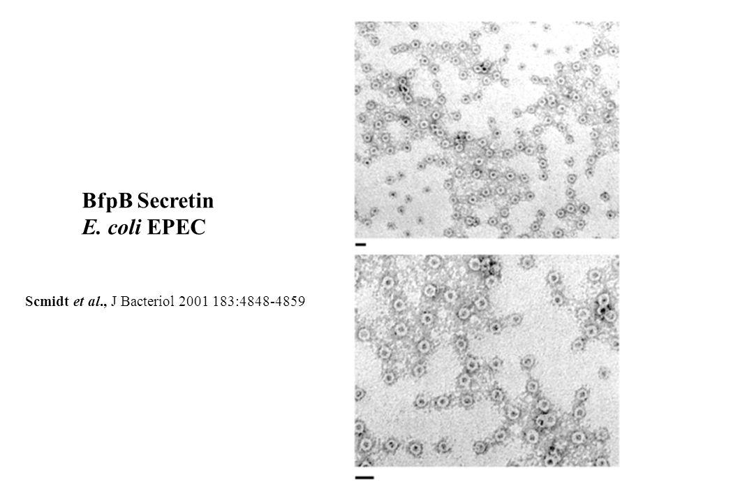 BfpB Secretin E. coli EPEC Scmidt et al., J Bacteriol 2001 183:4848-4859
