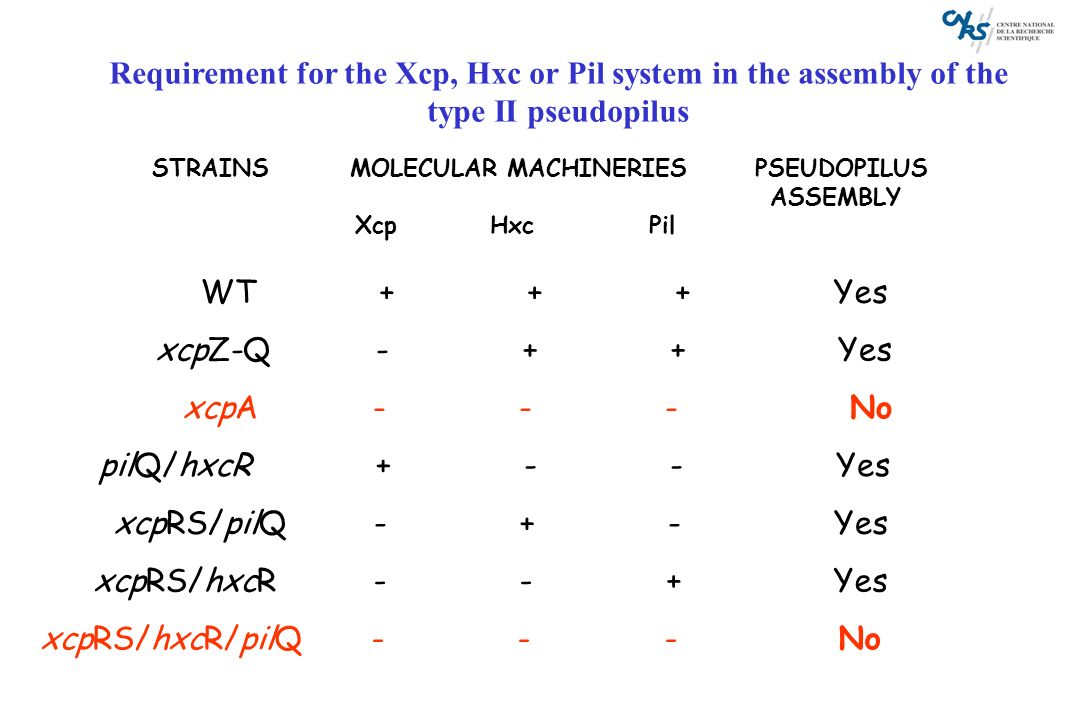 Requirement for the Xcp, Hxc or Pil system in the assembly of the type II pseudopilus STRAINS MOLECULAR MACHINERIES PSEUDOPILUS ASSEMBLY Xcp Hxc Pil W