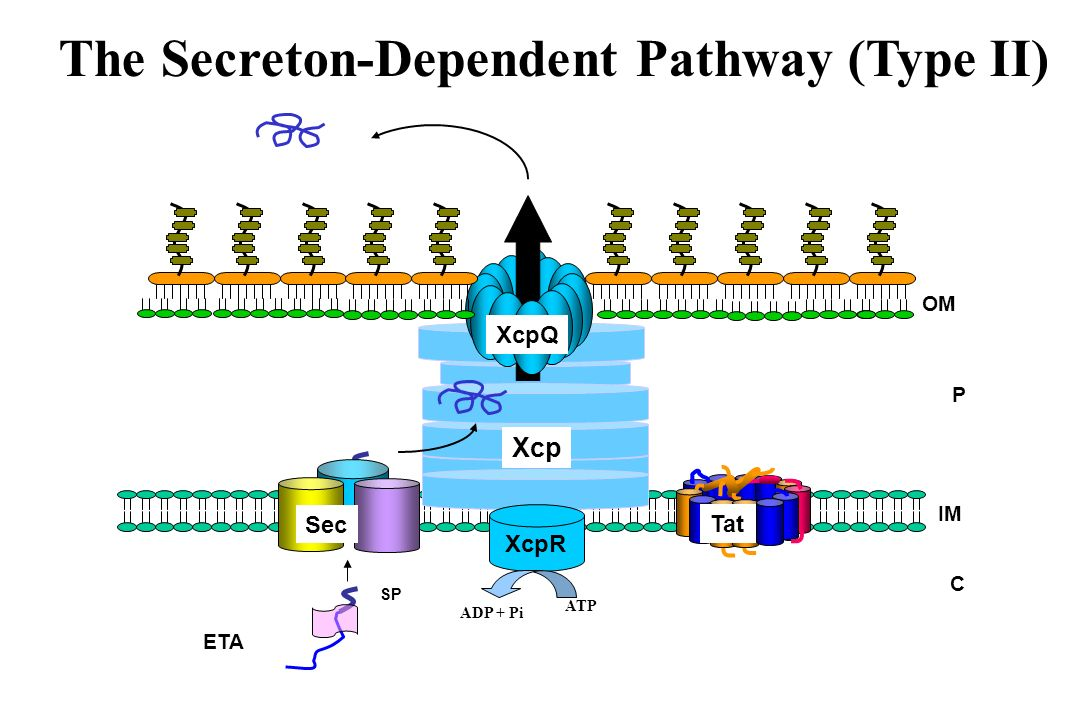 C P Xcp IM OM ETA SP Sec Tat XcpQ The Secreton-Dependent Pathway (Type II) XcpR ATP ADP + Pi