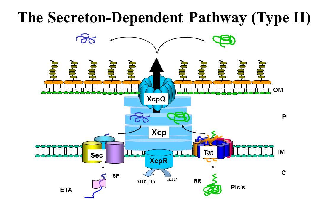 C P Xcp IM OM ETA SP Sec Plcs RR Tat XcpQ The Secreton-Dependent Pathway (Type II) XcpR ATP ADP + Pi