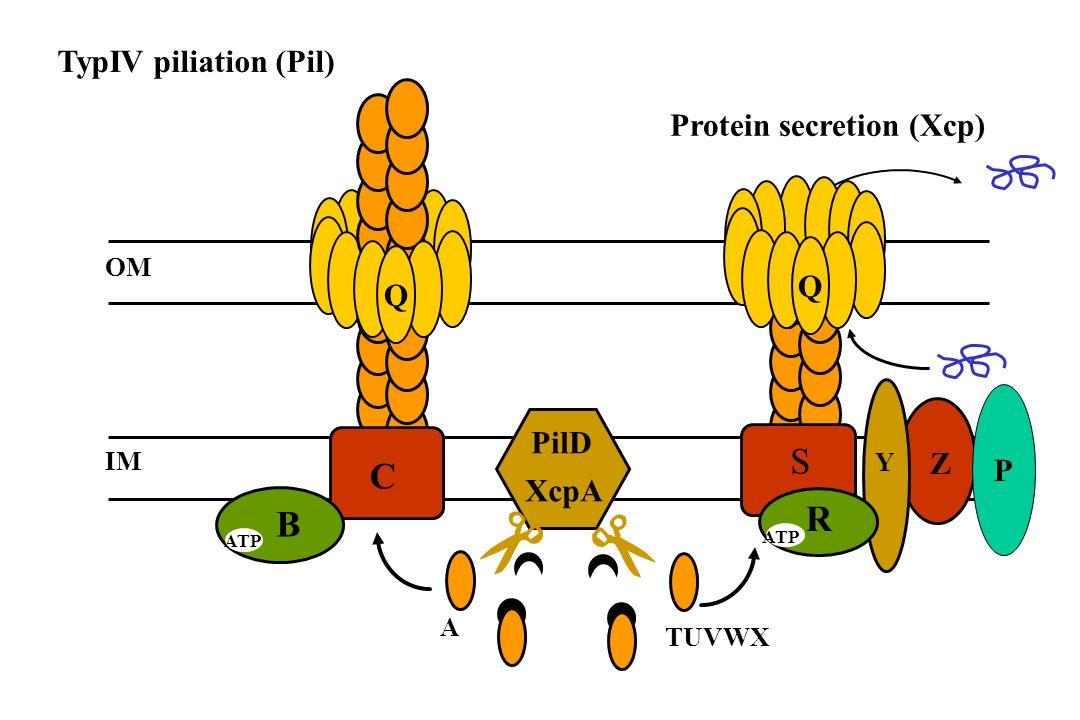 TypIV piliation (Pil) PilD A OM IM Q C B ATP R Y Z TUVWX S ATP XcpA Q Protein secretion (Xcp) P