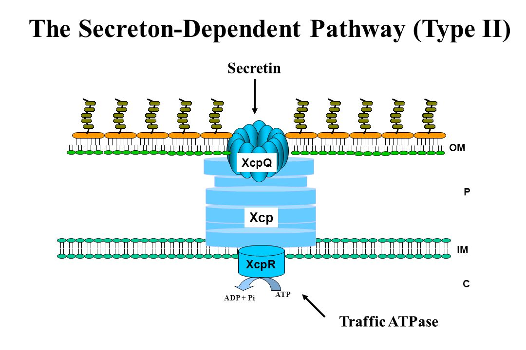 The Secreton-Dependent Pathway (Type II) C P Xcp IM OM XcpQ XcpR ATP ADP + Pi Secretin Traffic ATPase