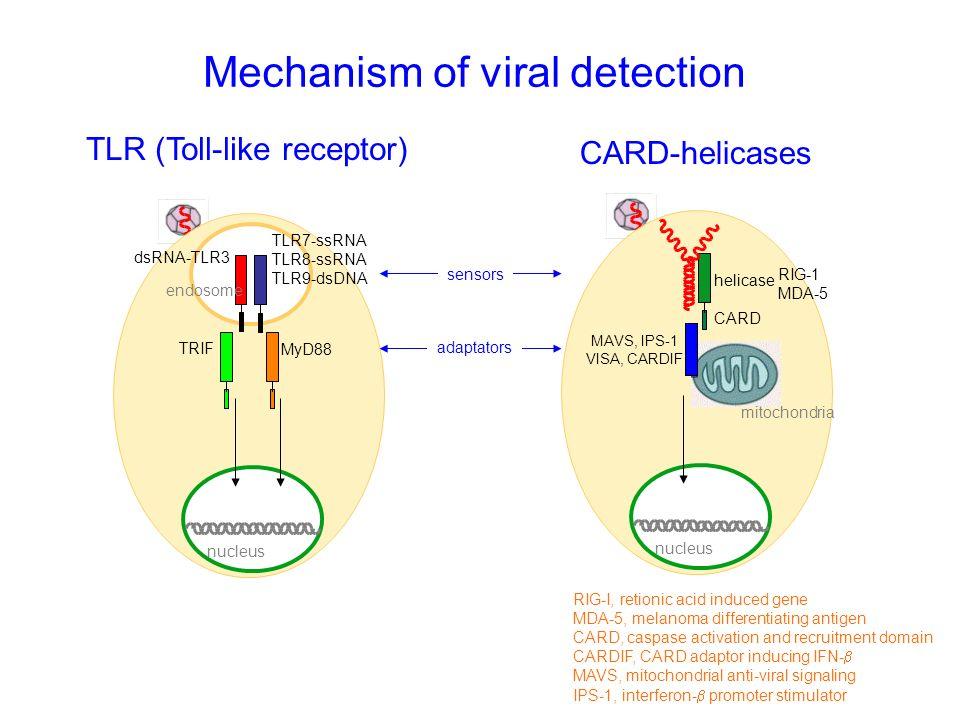 Mechanism of viral detection endosome nucleus MyD88 sensors dsRNA-TLR3 TLR7-ssRNA TLR8-ssRNA TLR9-dsDNA TRIF nucleus RIG-1 MDA-5 CARD helicase MAVS, I