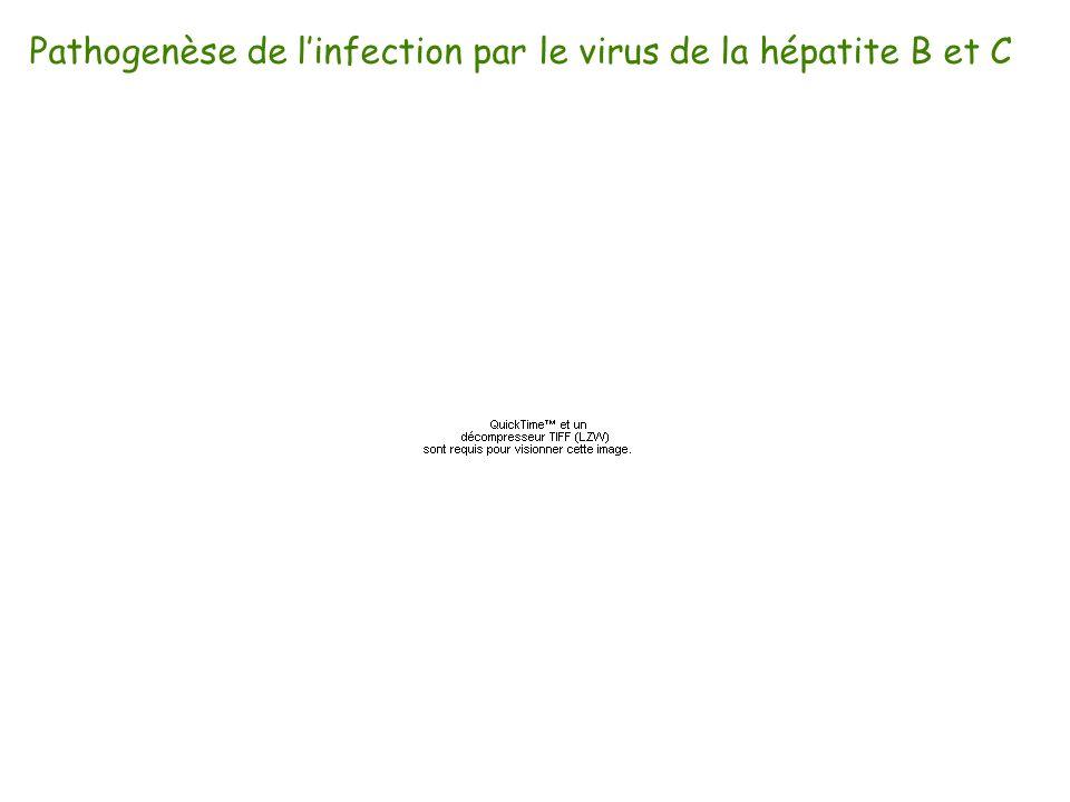 Pathogenèse de linfection par le virus de la hépatite B et C
