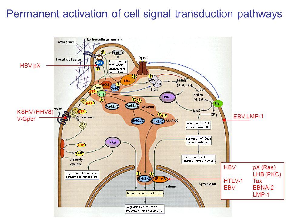 KSHV (HHV8) V-Gpcr EBV LMP-1 HBV pX (Ras) LHB (PKC) HTLV-1 Tax EBV EBNA-2 LMP-1 HBV pX Permanent activation of cell signal transduction pathways NF- B