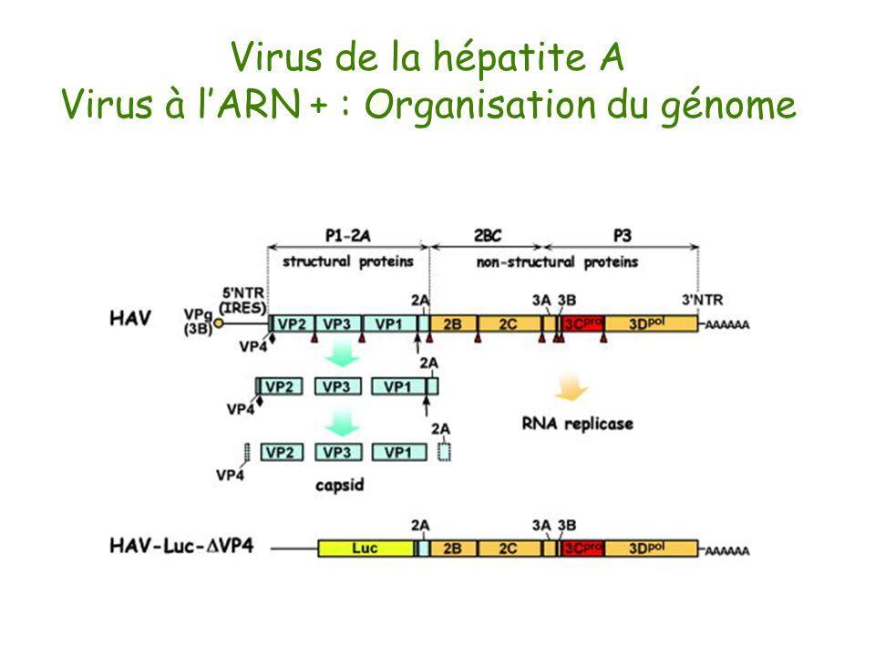Virus de la hépatite A Virus à lARN + : Organisation du génome