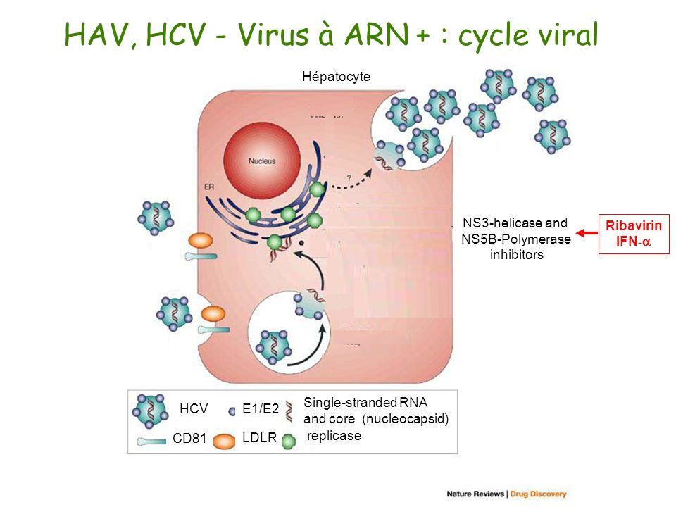HAV, HCV - Virus à ARN + : cycle viral Hépatocyte Vaccines Monoclonal antibodies Membrane-association Intervention? NS2-NS3 and NS3-4A Protease inhibi