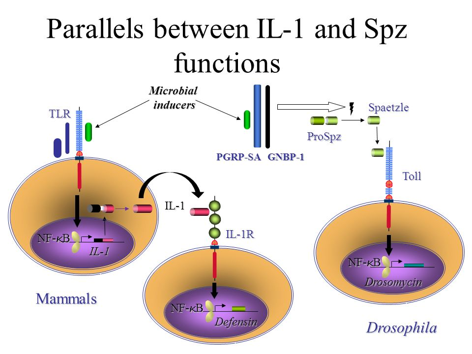 Parallels between IL-1 and Spz functions Toll Microbial inducers inducers Mammals NF- B IL-1R Defensin IL-1 IL-1 TLR ProSpz Spaetzle Drosophila Drosom