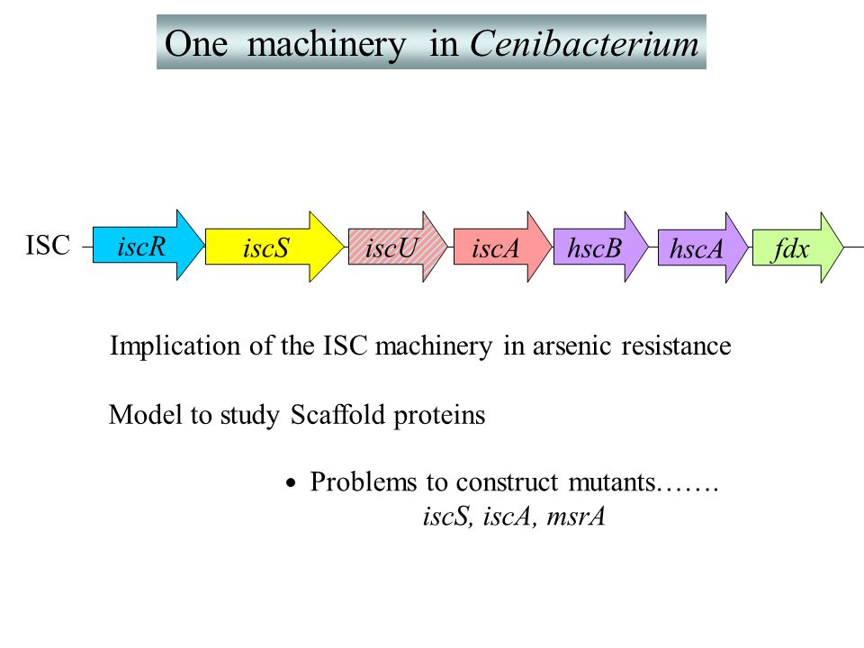 One machinery in Cenibacterium ISC iscR iscSiscU fdx hscBiscA hscA Model to study Scaffold proteins Problems to construct mutants……. iscS, iscA, msrA