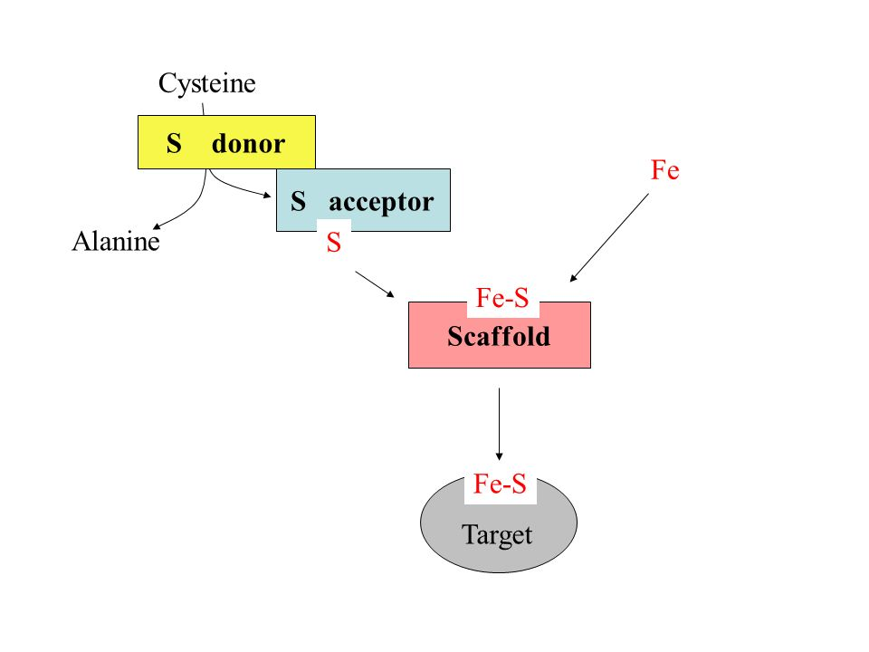Cysteine Fe Alanine S donor S acceptor Scaffold Fe-S S Target Fe-S