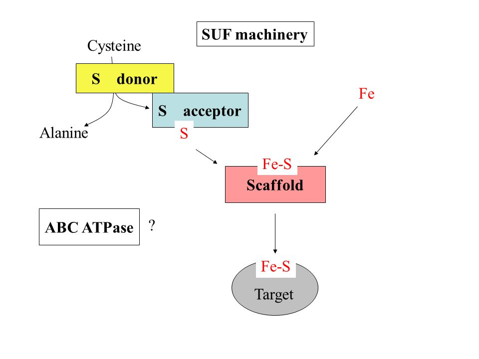 Cysteine Fe Alanine S donor S acceptor Scaffold Fe-S S Target Fe-S SUF machinery ABC ATPase ?