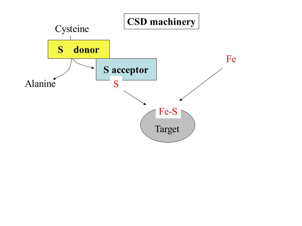 Cysteine Fe Alanine S donor S acceptor S Target Fe-S CSD machinery