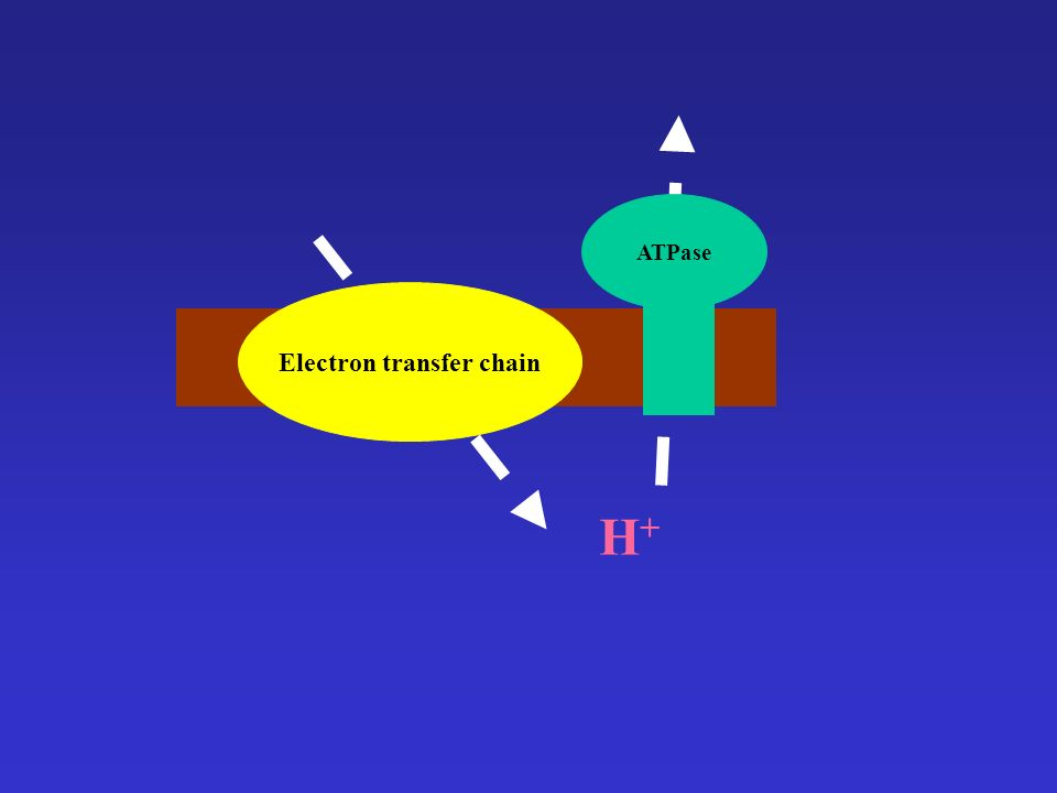 ATPase Electron transfer chain H+H+
