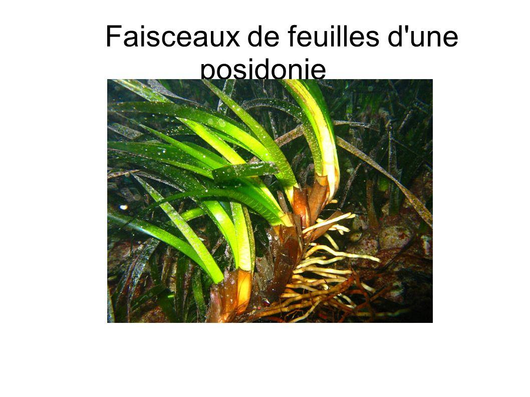 Faisceaux de feuilles d'une posidonie