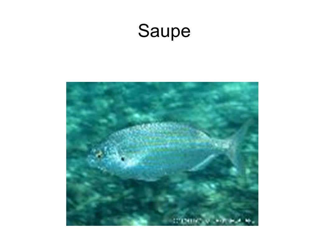 Saupe