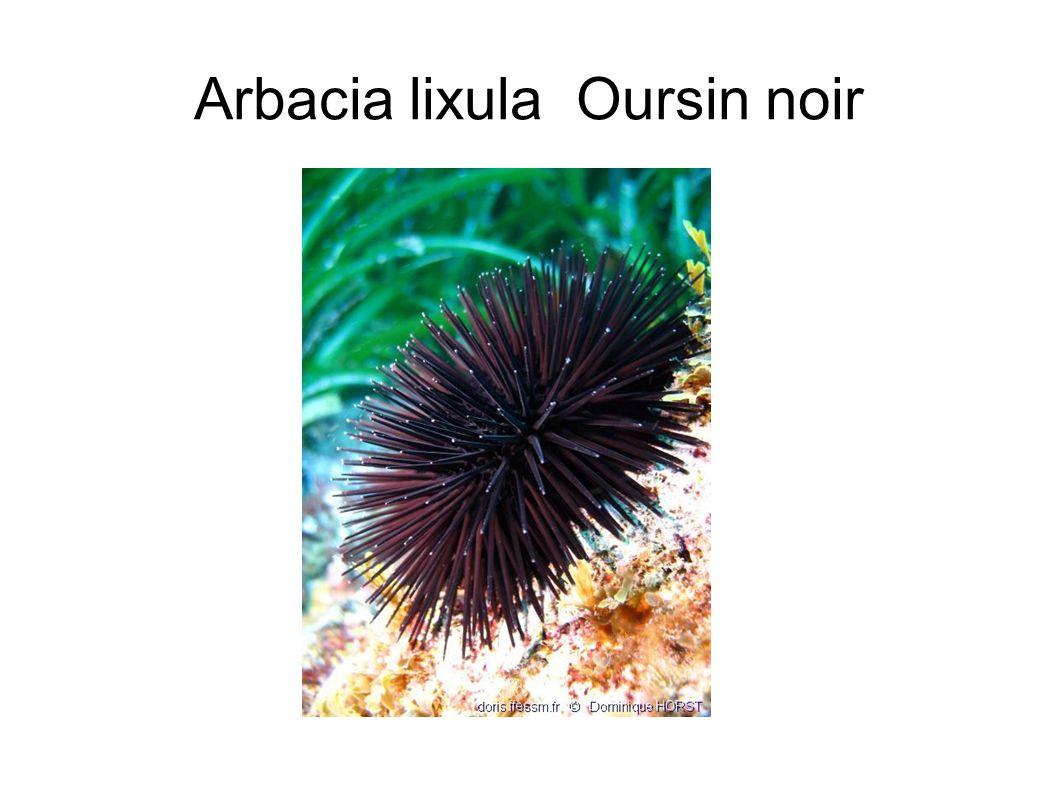 Arbacia lixula Oursin noir