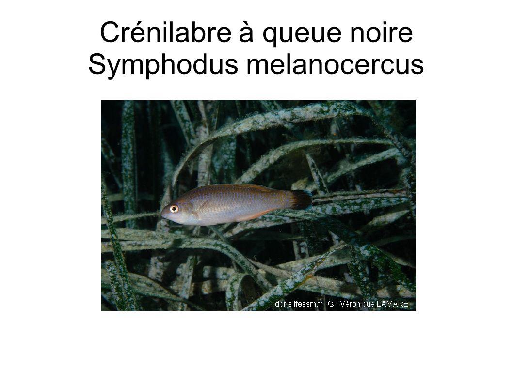 Crénilabre à queue noire Symphodus melanocercus