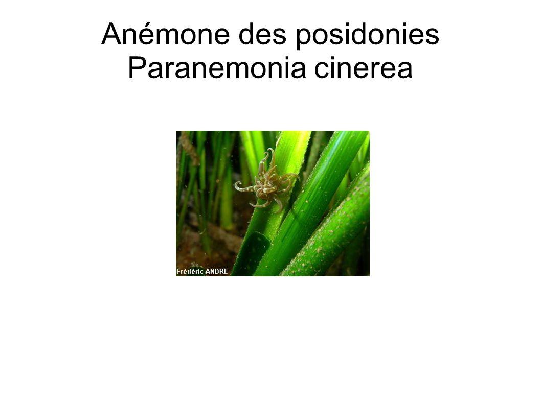 Anémone des posidonies Paranemonia cinerea