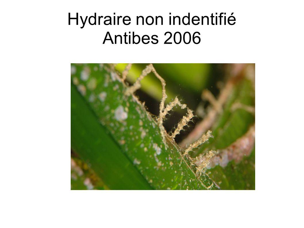 Hydraire non indentifié Antibes 2006