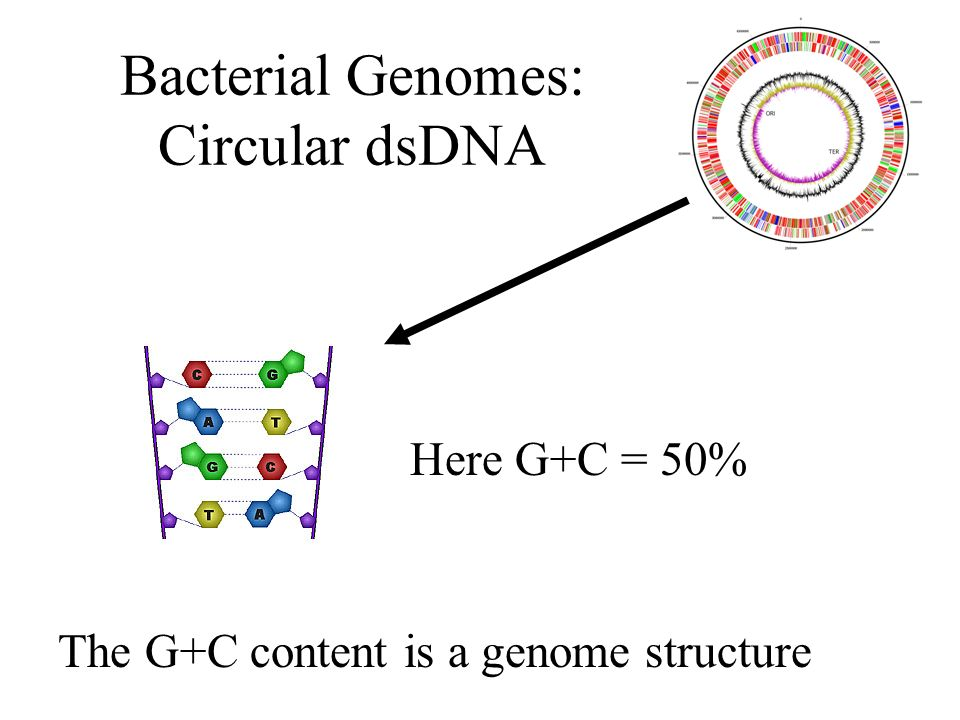 Bacterial Genomes: Circular dsDNA Here G+C = 50% The G+C content is a genome structure