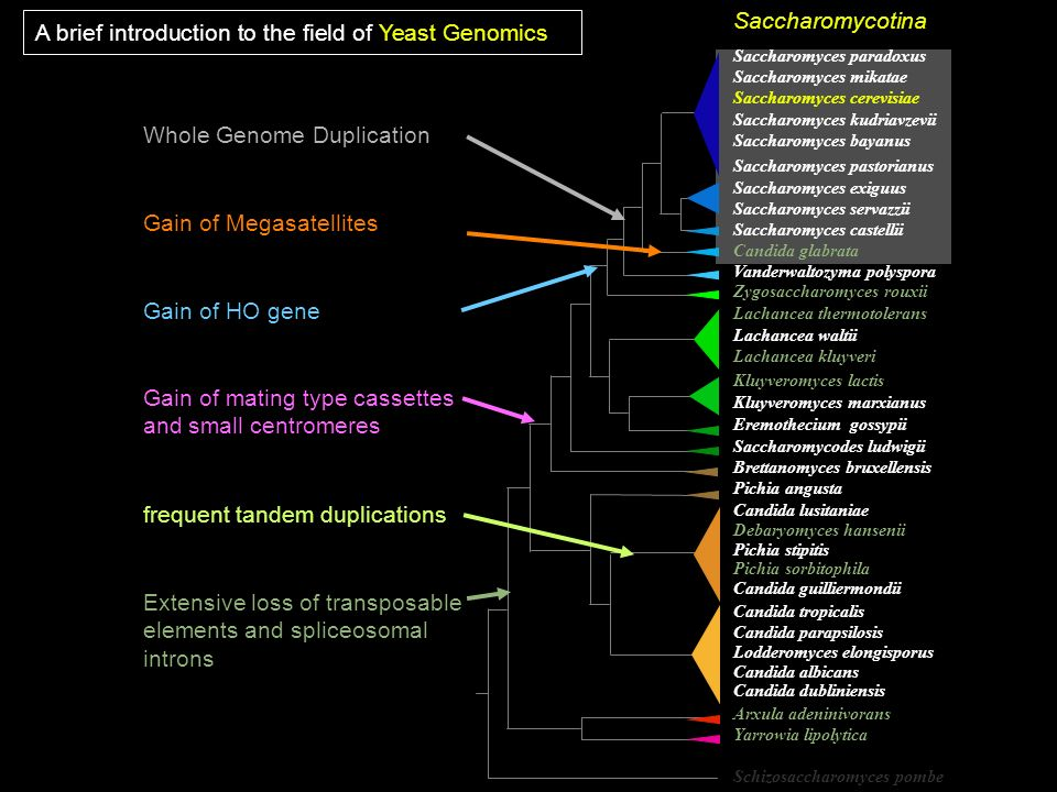 Saccharomyces paradoxus Saccharomyces mikatae Saccharomyces cerevisiae Saccharomyces kudriavzevii Saccharomyces bayanus Saccharomyces pastorianus Sacc