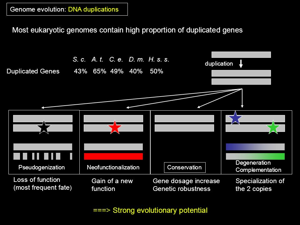 Most eukaryotic genomes contain high proportion of duplicated genes Duplicated Genes 43% 65% 49% 40% 50% S. c. A. t. C. e. D. m. H. s. s. duplication