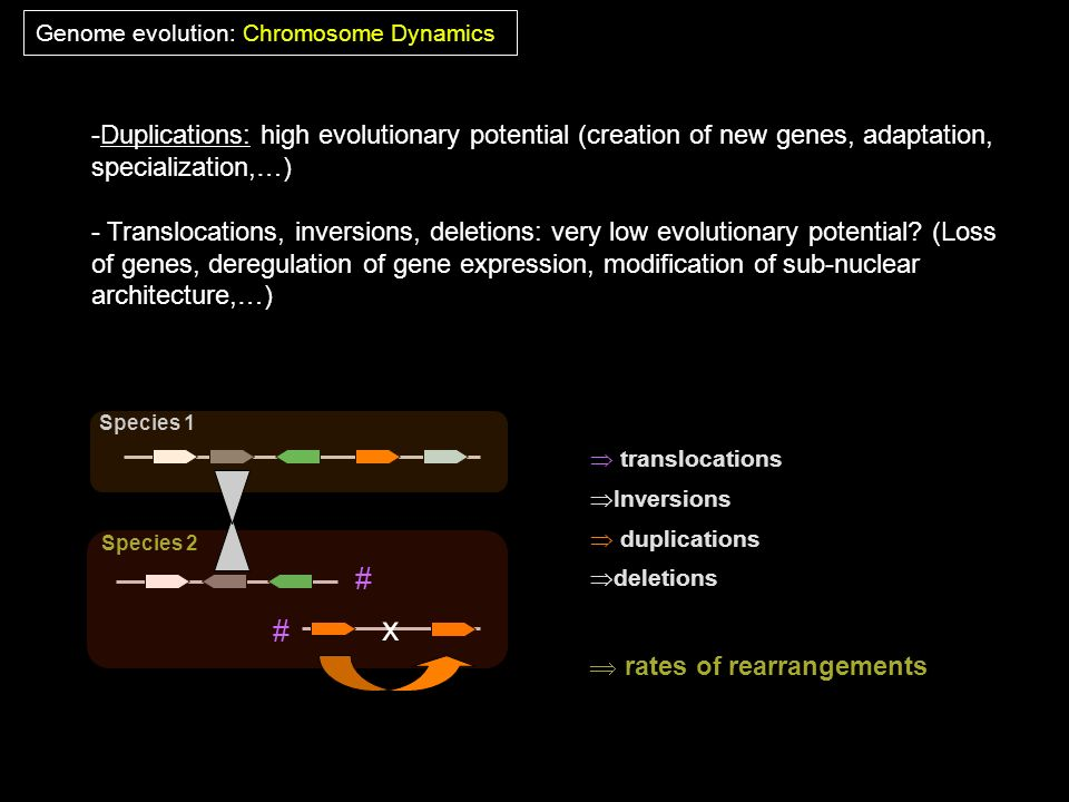 Genome evolution: Chromosome Dynamics translocations Inversions duplications deletions rates of rearrangements Species 1 Species 2 # # x -Duplications