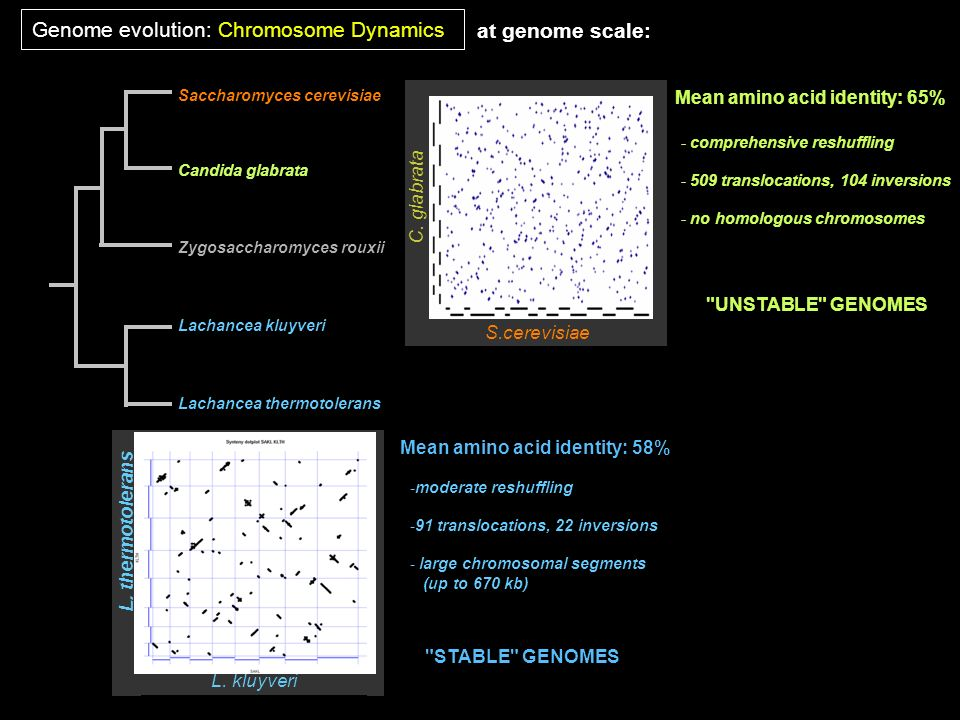 Saccharomyces cerevisiae Candida glabrata Lachancea kluyveri Lachancea thermotolerans Zygosaccharomyces rouxii at genome scale: S.cerevisiae C. glabra