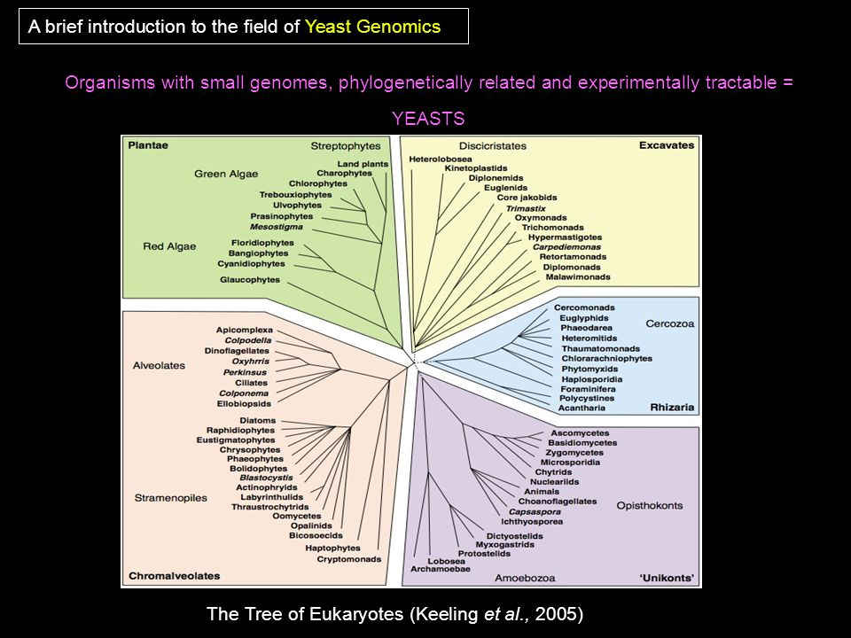 Organisms with small genomes, phylogenetically related and experimentally tractable = YEASTS A brief introduction to the field of Yeast Genomics The T