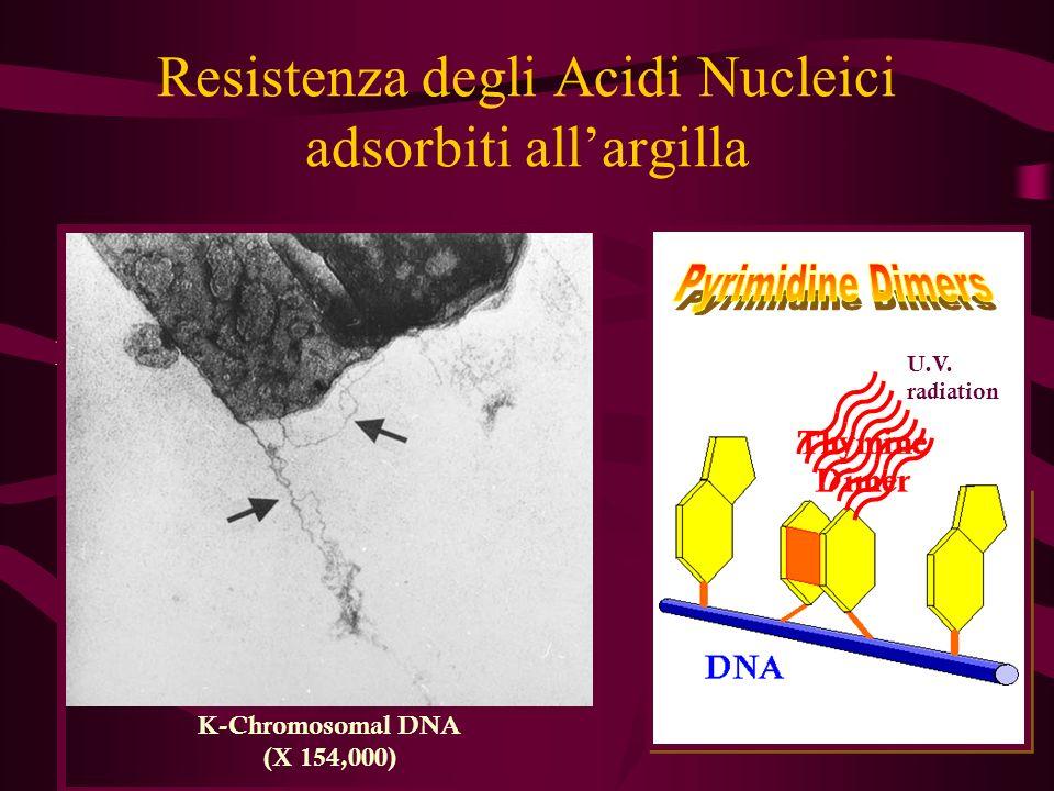 Resistenza degli Acidi Nucleici adsorbiti allargilla La forrmazione dei dimeri di Timina è ridotta nel caso del DNA adsorbito allargilla Gallori et al