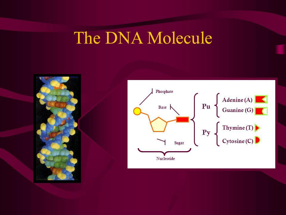 The DNA Molecule Pu Py Adenine (A) Guanine (G) Thymine (T) Cytosine (C) Phosphate Sugar Base Nucleotide