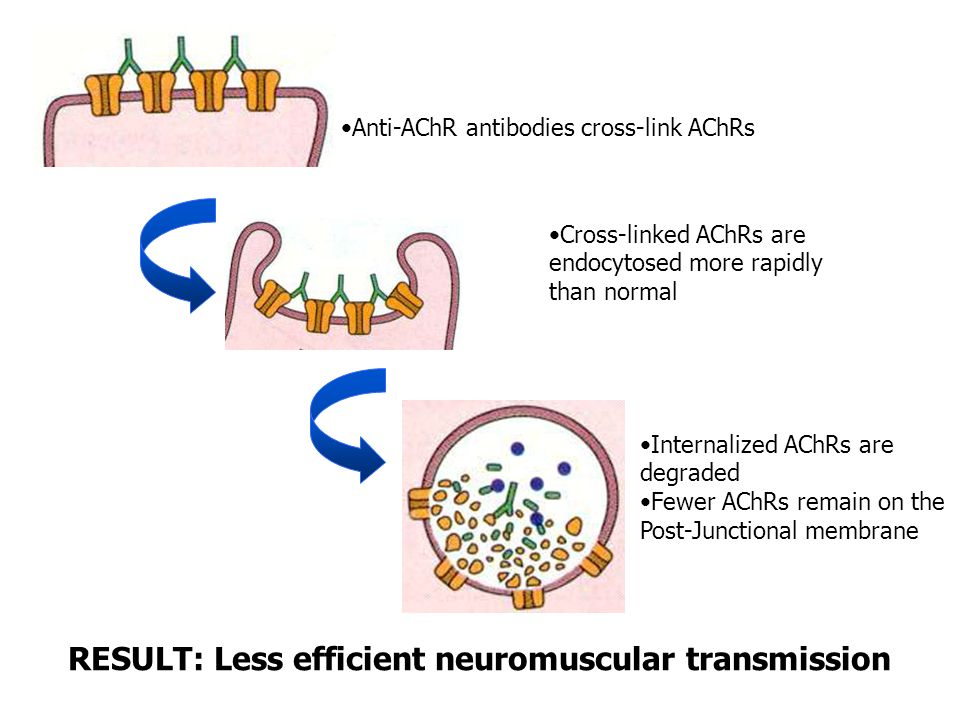 Anti-AChR antibodies cross-link AChRs Cross-linked AChRs are endocytosed more rapidly than normal Internalized AChRs are degraded Fewer AChRs remain on the Post-Junctional membrane RESULT: Less efficient neuromuscular transmission