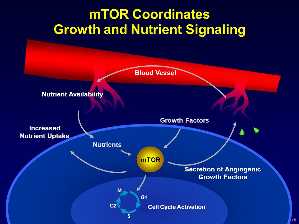 14 mTOR M G1 G2 S Cell Cycle Activation mTOR Coordinates Growth and Nutrient Signaling Increased Nutrient Uptake Secretion of Angiogenic Growth Factor