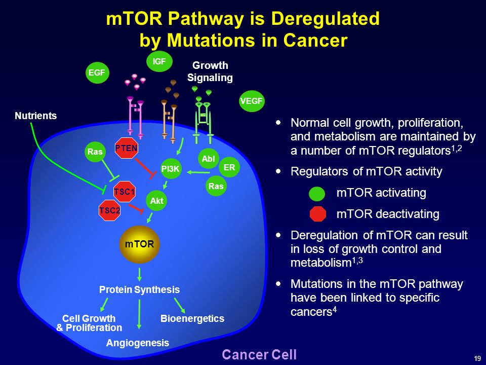 19 mTOR Pathway is Deregulated by Mutations in Cancer Normal cell growth, proliferation, and metabolism are maintained by a number of mTOR regulators