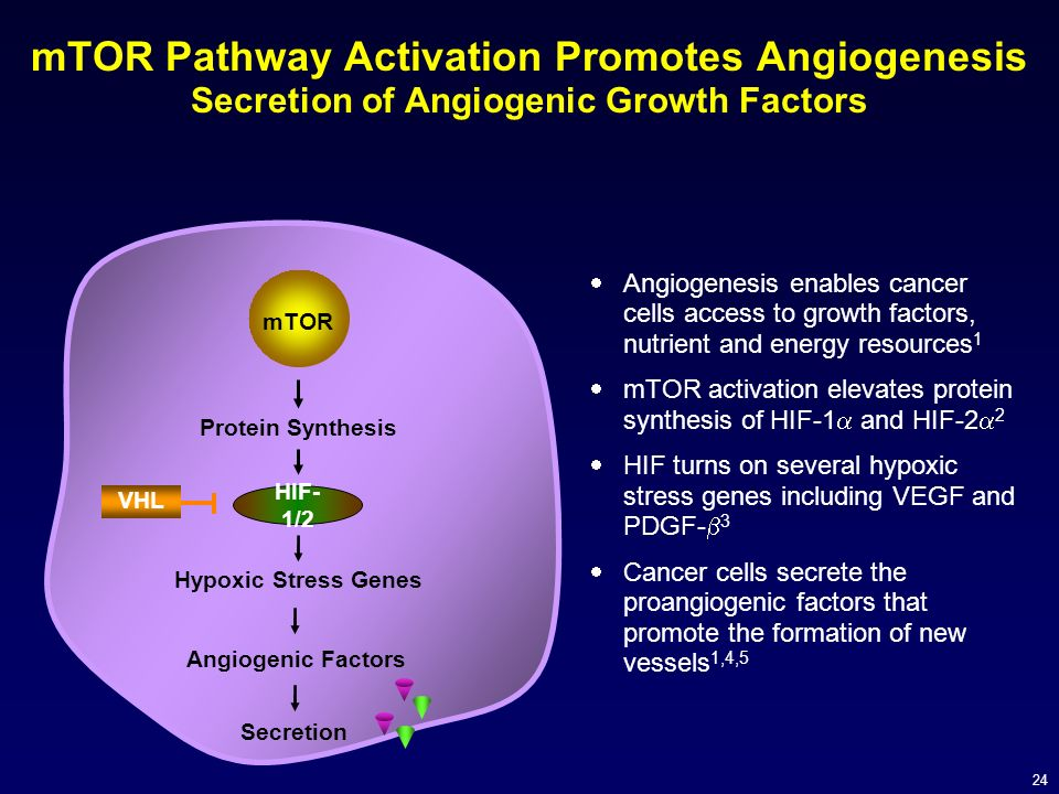 24 mTOR Pathway Activation Promotes Angiogenesis Secretion of Angiogenic Growth Factors Angiogenesis enables cancer cells access to growth factors, nu