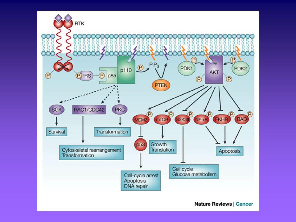 I SEGNI CARDINALI DEL CANCRO E I MOLTEPLICI RUOLI DI AKT Autosufficienza rispetto ai segnali di crescita e insensibilità ai segnali antiproliferativi : La sovraespressione di Akt può mediare un aumento della risposta cellulare ai livelli di fattori di crescita presenti nellambiente extracellulare Akt promuove la localizzazione nucleare di Mdm2, favorendone lazione di inibizione su p53 Akt promuove la localizzazione citoplasmatica di CKI quali p21 e p27, inibendone la funzione Akt stabilizza i livelli di cicline D1 e D3