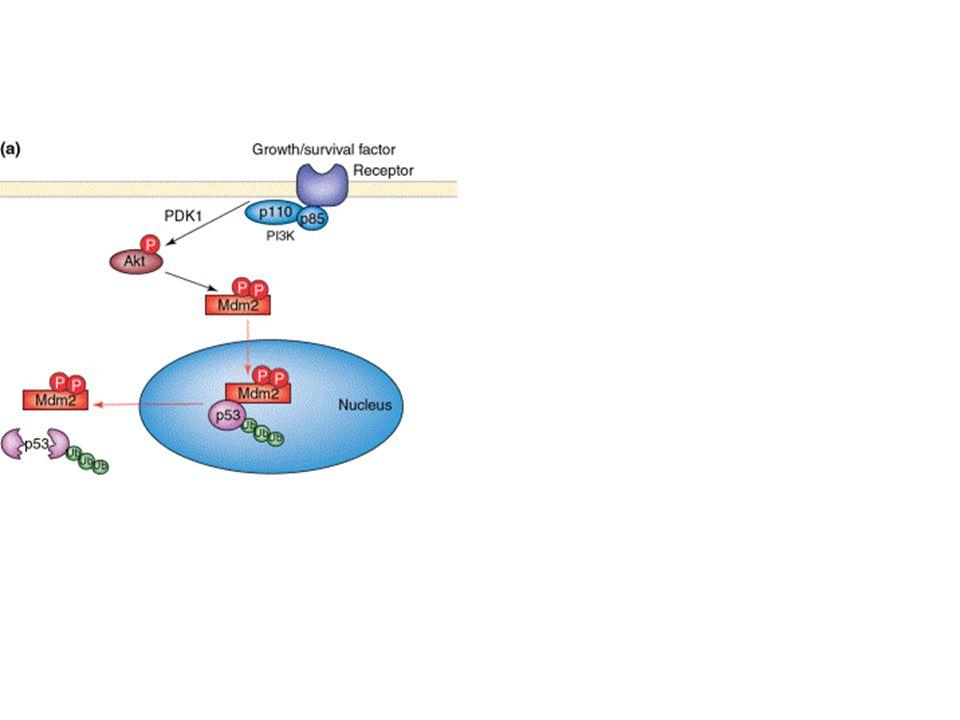 I SEGNI CARDINALI DEL CANCRO E I MOLTEPLICI RUOLI DI AKT Potenziale replicativo illimitato: Akt aumenta lattività telomerasica fosforilando hTERT