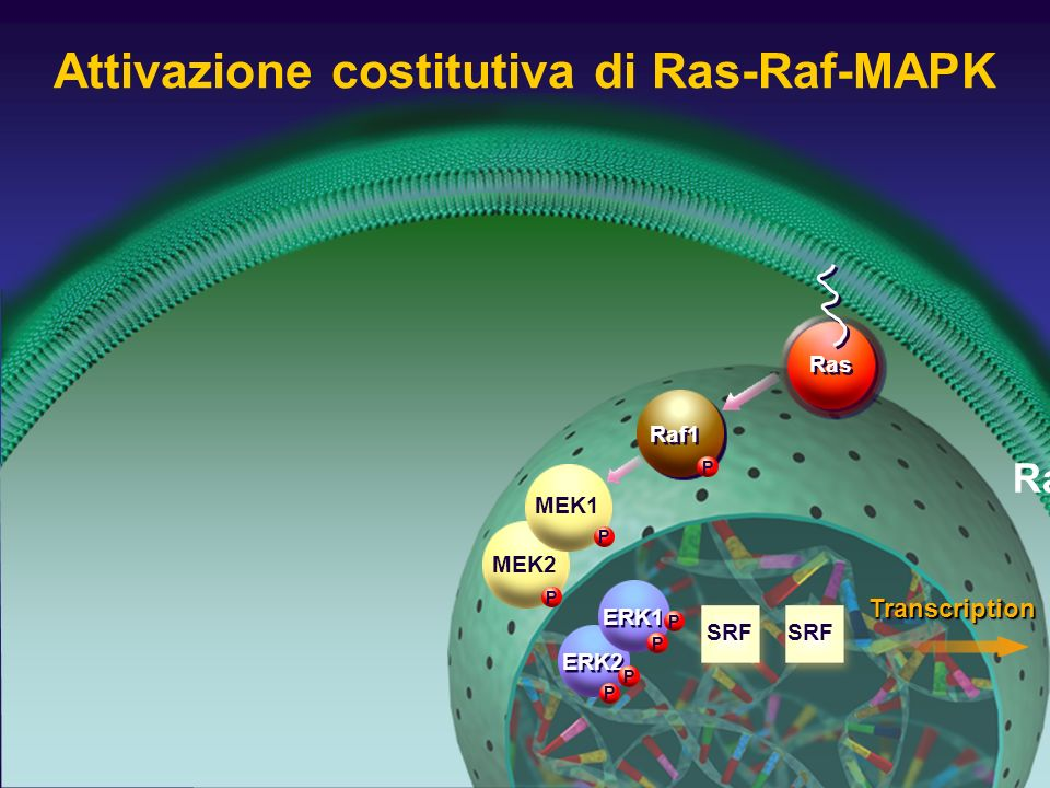 Attivazione costitutiva di Ras-Raf-MAPK Raf1 P MEK2 P ERK2 P P ERK1 P P MEK1 P SRF Ras Transcription