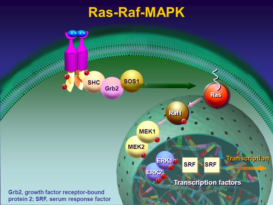 SHCGrb2SOS1 P P P Raf1 P MEK2 P ERK2 P P ERK1 P P MEK1 P Transcription factors Grb2, growth factor receptor-bound protein 2; SRF, serum response facto
