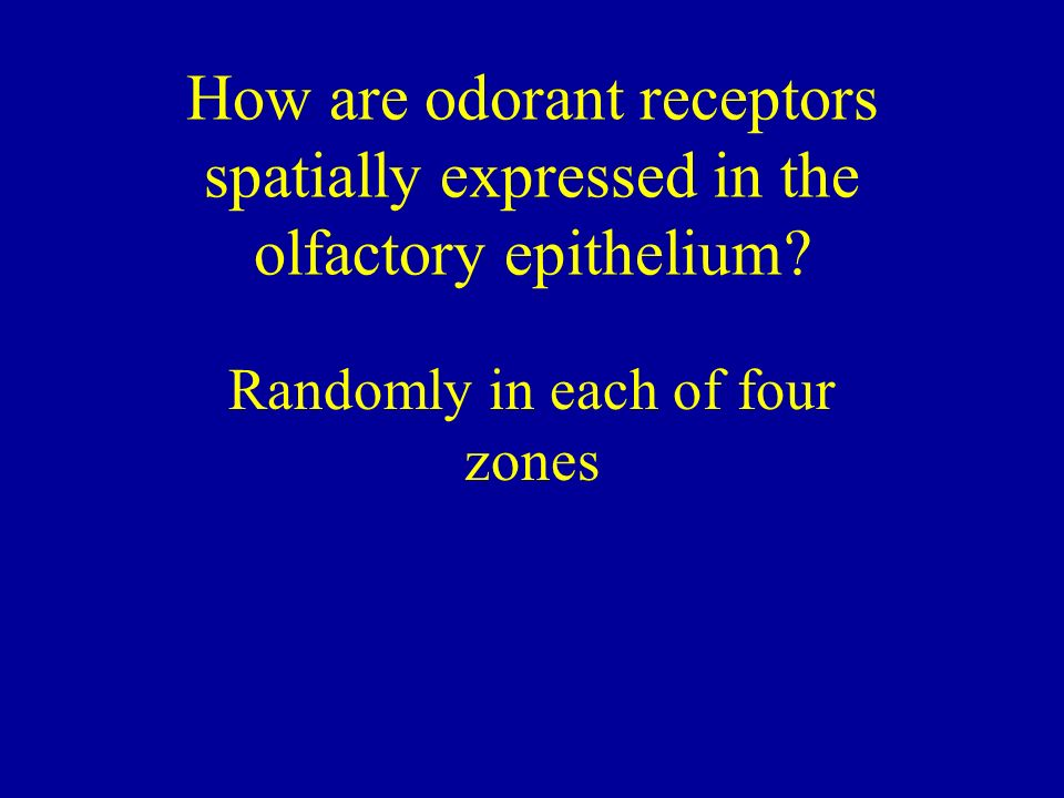 How are odorant receptors spatially expressed in the olfactory epithelium? Randomly in each of four zones