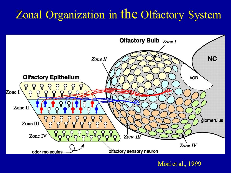 Mori et al., 1999 Zonal Organization in the Olfactory System