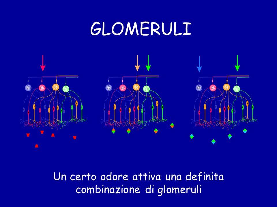 GLOMERULI Un certo odore attiva una definita combinazione di glomeruli