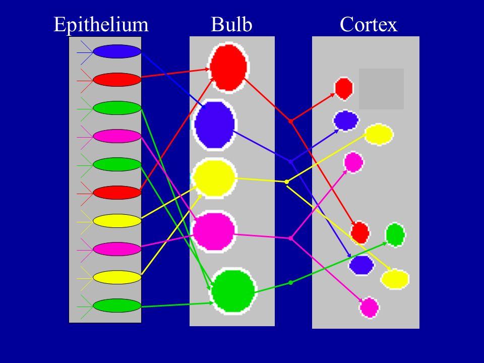 BulbEpithelium Cortex