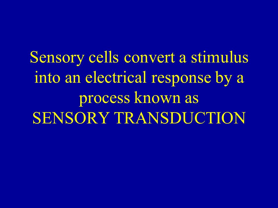 Sensory cells convert a stimulus into an electrical response by a process known as SENSORY TRANSDUCTION