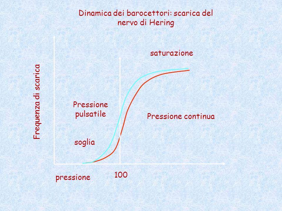 pressione Frequenza di scarica 100 Pressione continua Pressione pulsatile soglia saturazione Dinamica dei barocettori: scarica del nervo di Hering